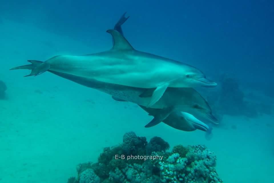 Bottlenose Delfine